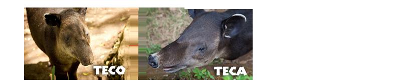 tapirper