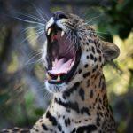 leopardo-by-michael-ramirez300