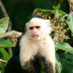 capuchino-2