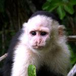 capuchino3