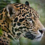 jaguar-by-nelsoft