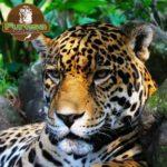 jaguar-cara