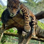 jaguar-descansando