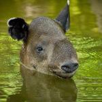 post_tapir