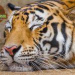 slepping-tiger